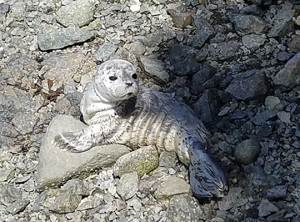 Baby seal waiting for mom's return